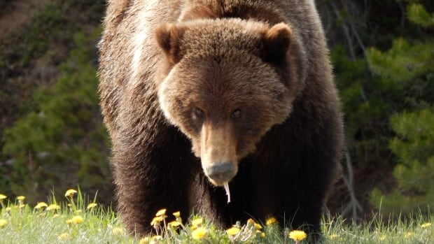 Provincial parks officials say if Bear 148 displays more aggressive behaviour toward people, it might have to be put down.