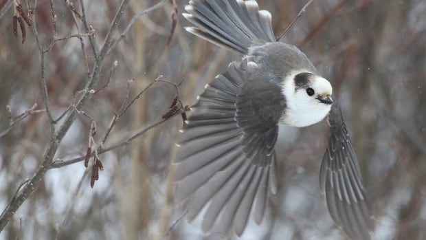 The grey jay was chosen as the top nominee for Canada's national bird because it can be found across the entire country and embodies the Canadian spirit, the Canadian Geographical Society says.