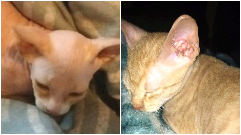 Hairless cat scam is 'abuse,' says 2nd Alberta woman who