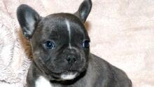French bulldog stolen from Cochrane home