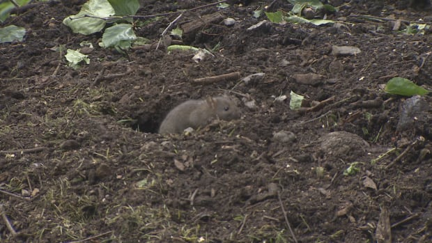 A PhD thesis at UBC is focused on how best to track rats in a systematic way.