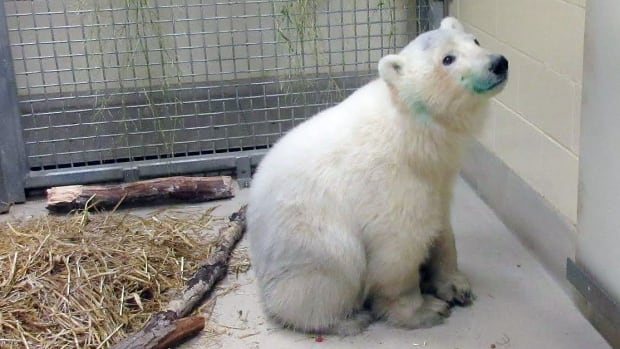 Two polar bear cubs arrived at the Assiniboine Park Zoo Tuesday and will join nine other bears, including Nanuq — pictured above when she arrived at the Leatherdale International Polar Bear Conservation Centre last November.