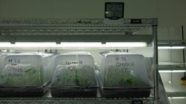 Aurora cannabis cloning room