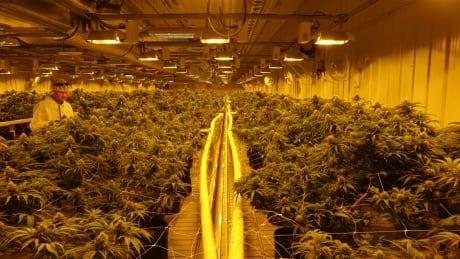 Aurora Cannabis main room
