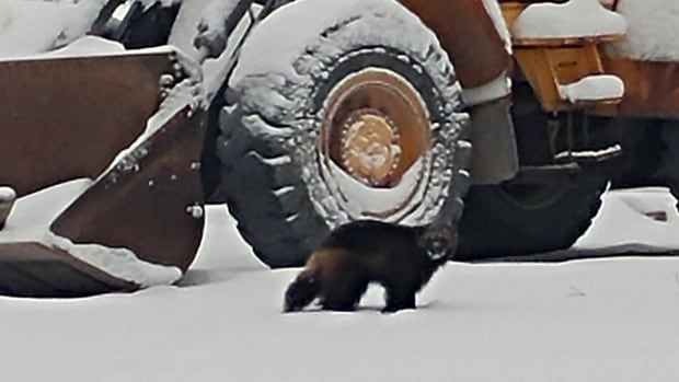 This wolverine was spotted Wednesday afternoon at around 2 p.m. at the new housing development in the Kam Lake industrial area. A wolverine was also seen at Yellowknife's William McDonald middle school on Wednesday.