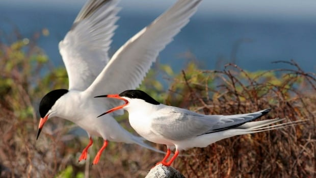 The Canadian government announced new protections Friday for the roseate tern.