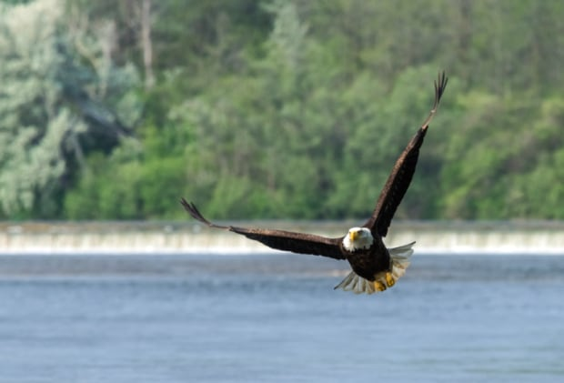 Bald eagle at Wilkes Dam in Brantford by Anca Gaston