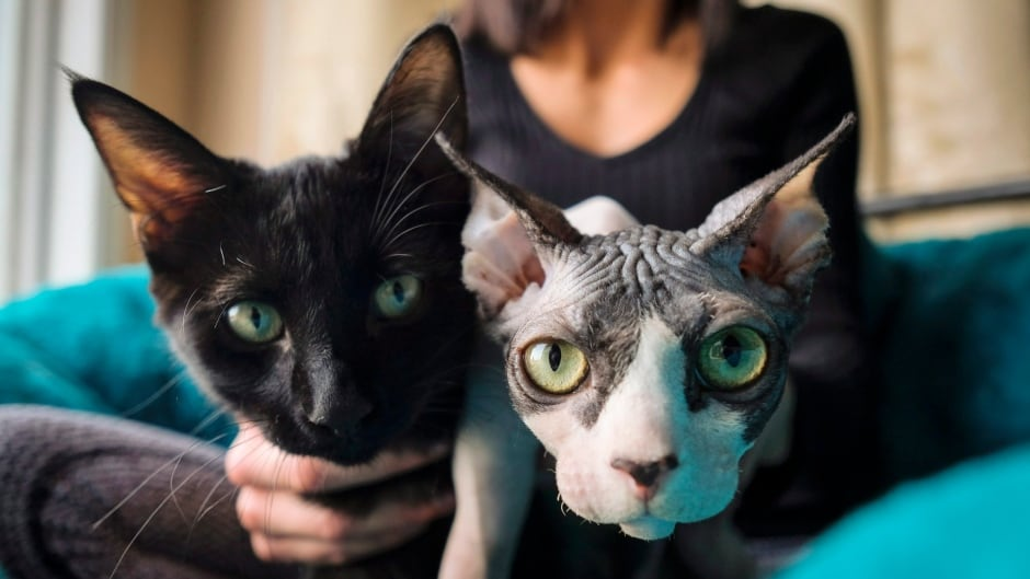 Alberta Spca Investigates Hairless Cat Scam As Another Buyer Comes Forward Cbc News