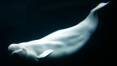 Vancouver Aquarium bringing back belugas despite mysterious deaths