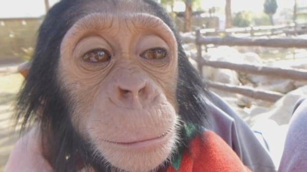 Manno the chimpanzee could be freed from a zoo in Kurdistan this week thanks to the efforts of Alberta man Spencer Sekyer.