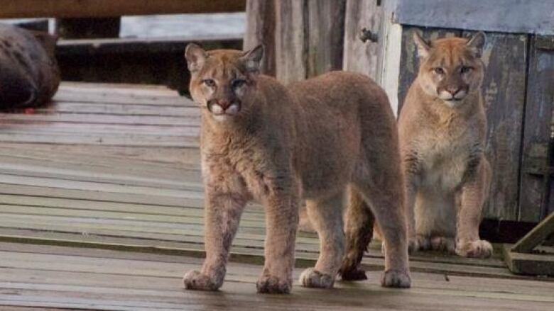 Cougar bc