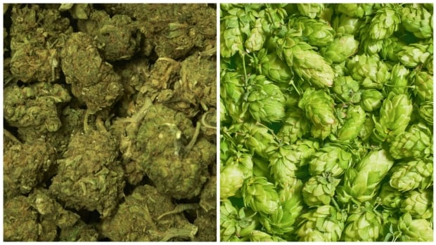 One of these things is not like the other — dried marijuana buds are pictured left and  hops on the right.
