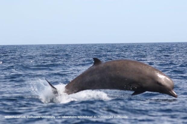 Bottlenose whale breaching