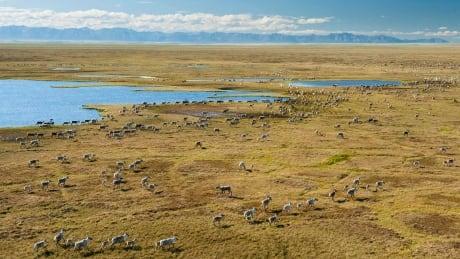 Porcupine Caribou Herd