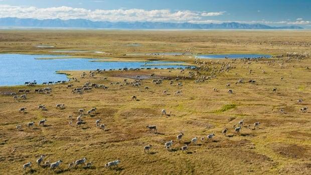 Caribou on the coastal plain of the Arctic National Wildlife Refuge.