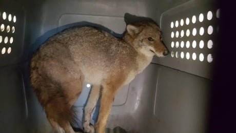 Coyote trapped, wedged between QEW barriers rescued in St. Catharines