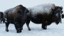 Bison in Saskatchewan during winter Dec. 5, 2016