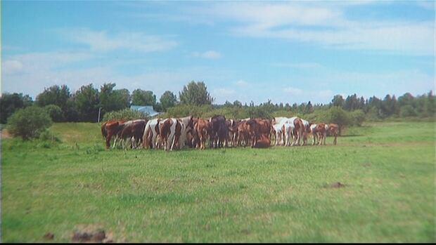 Tomalin herd of horses in N.B. in 2010