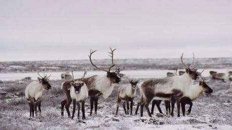 Caribou near Roundrock Lake west of Lac de Gras, NWT