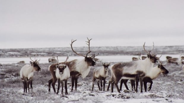 Canada's barren ground caribou classified as 'threatened ...