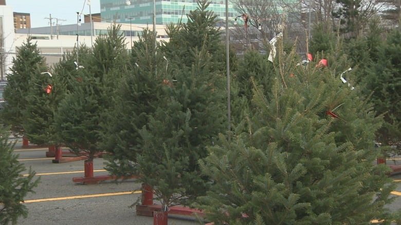 Christmas Trees At A Lot In Halifax. (CBC