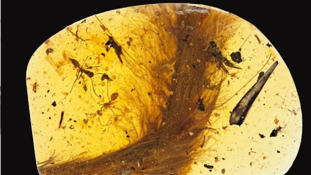 'Incredibly rare': Dinosaur blood, feathers found in ancient amber