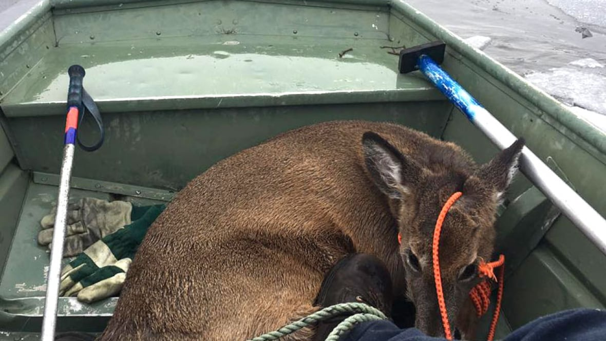 Young deer rescued from thin ice near Woodstock - CBC.ca