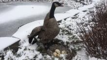 Canada goose nest discovered in December