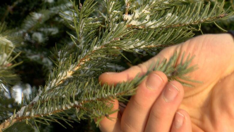 Christmas Tree Shortage.U S Christmas Tree Shortage But Charlie Brown Tree Not The