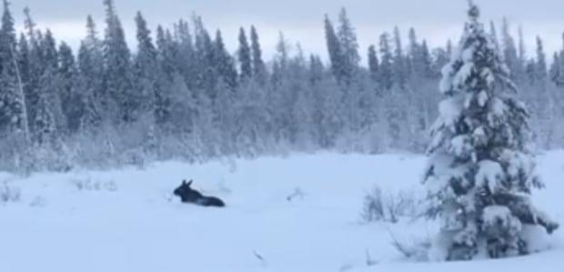 Moose in snow riding mountain