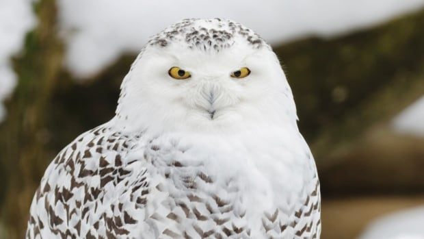 The snowy owl is a large owl by weight with a rounded, symmetrical head.