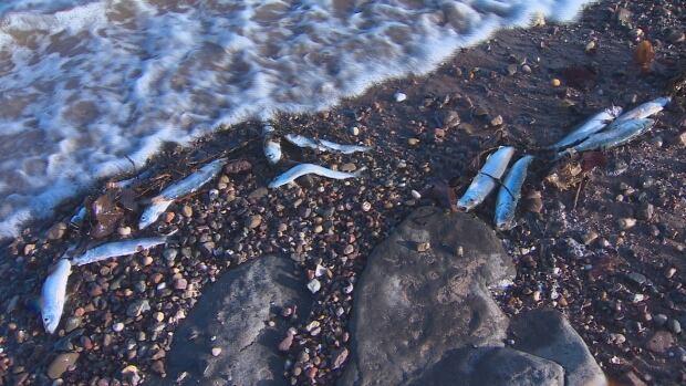 Dead Digby herrings