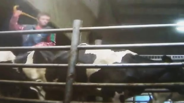 A video released by Mercy For Animals led to an ongoing investigation into animal cruelty taking place at Chilliwack Cattle Sales.