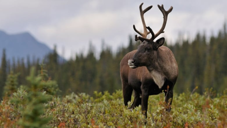 New interactive map shows impact of mining on caribou habitat in Ontario