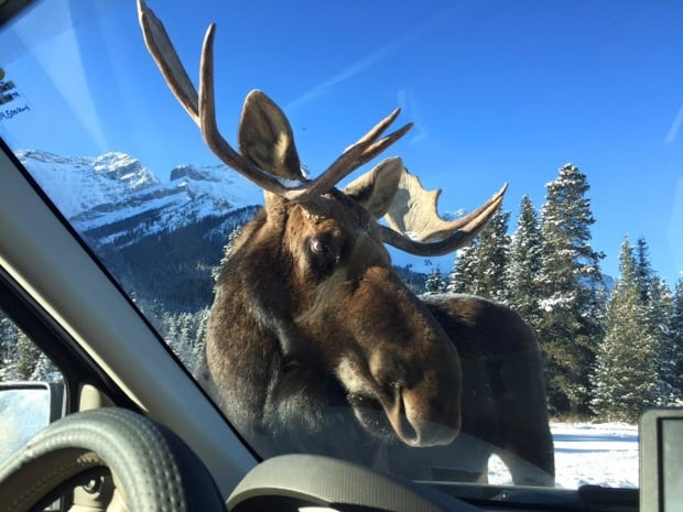 Moose lick picture