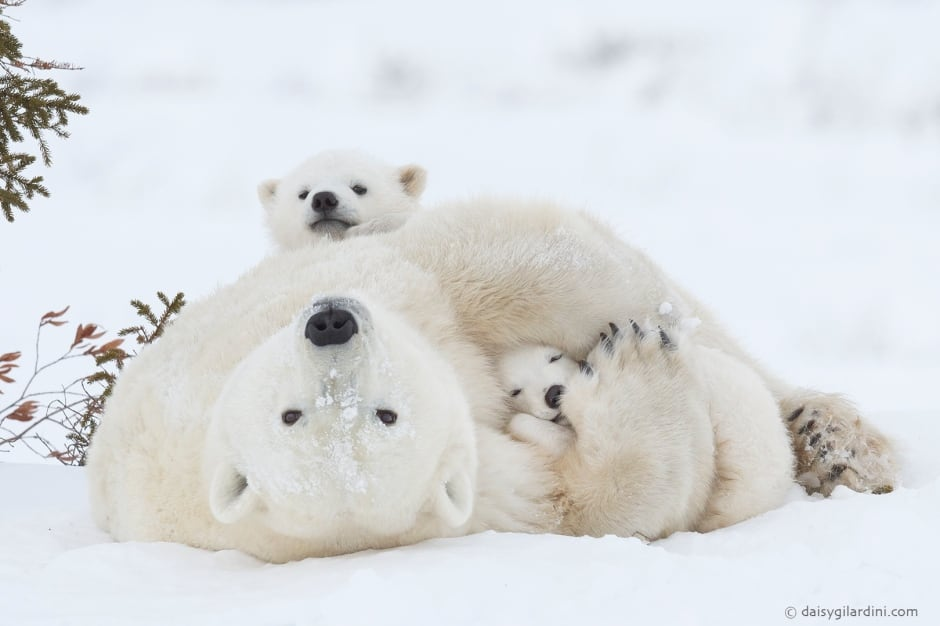 Polar bears-motherhood