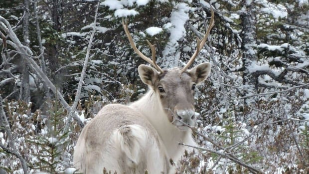 Makivik Corp calls for end to sport hunting of Quebec's Leaf River caribou
