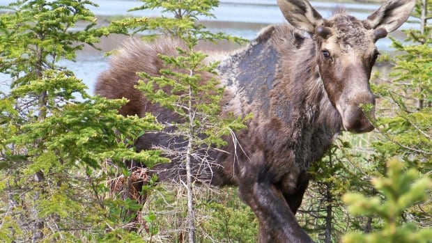 New Brunswick moose hunters can start applying Monday for licences and entry into the annual moose draw Monday.