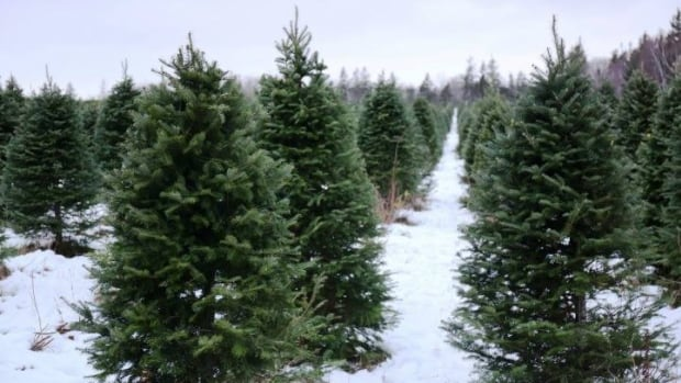 Canadian Christmas tree farmers are raising prices as much as 10 per cent this year.