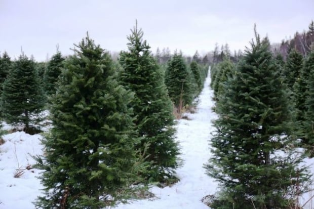 Christmas trees on Smith's Christmas Tree Farm in Mayfield, PEI 2016
