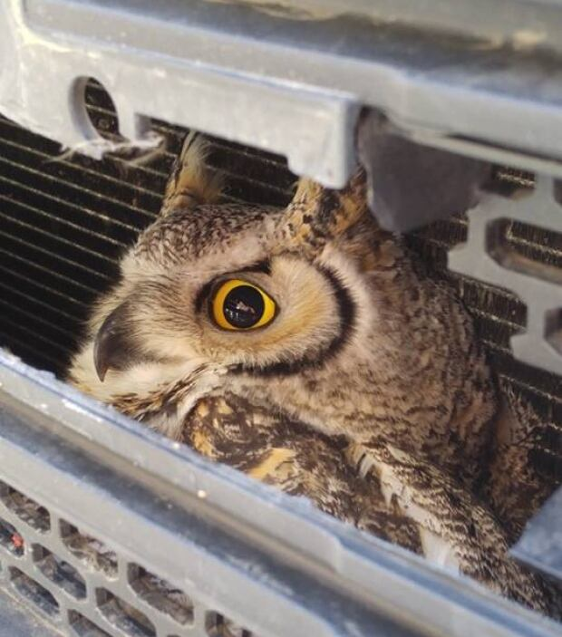 Owl Camrose