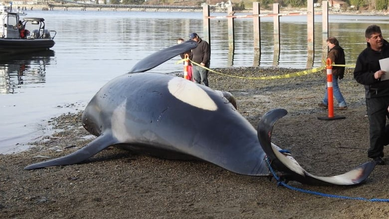 Report confirms ship strike caused death of killer whale J34