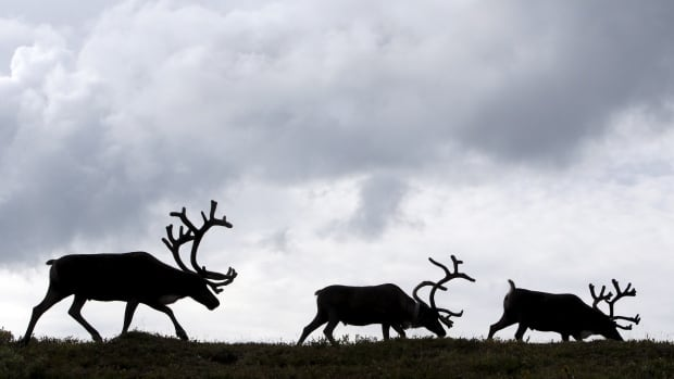 Rudolph's summer grazing could be helping combat climate change.