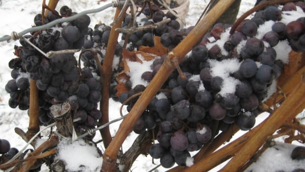 Grapes used for making icewine are usually harvested in January or February, but cold temperatures meant that Ontario growers were plucking their crops off the vine before Christmas.