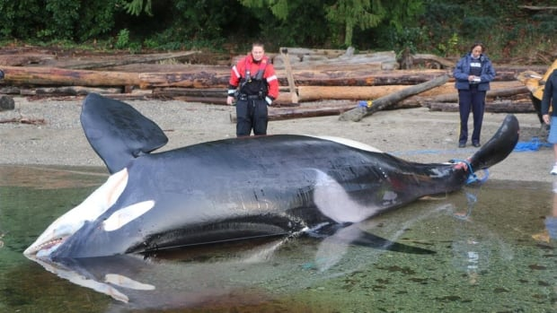 Dead orca found near Sechelt showed signs of physical injury
