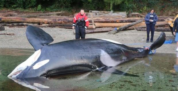 Dead orca