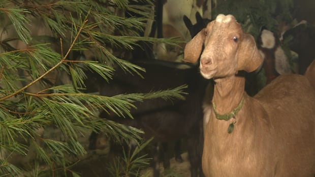 Sausage the goat chows down on a Christmas tree inside the barn at Rainbow Springs Farm in Rhodes Corner, Nova Scotia.