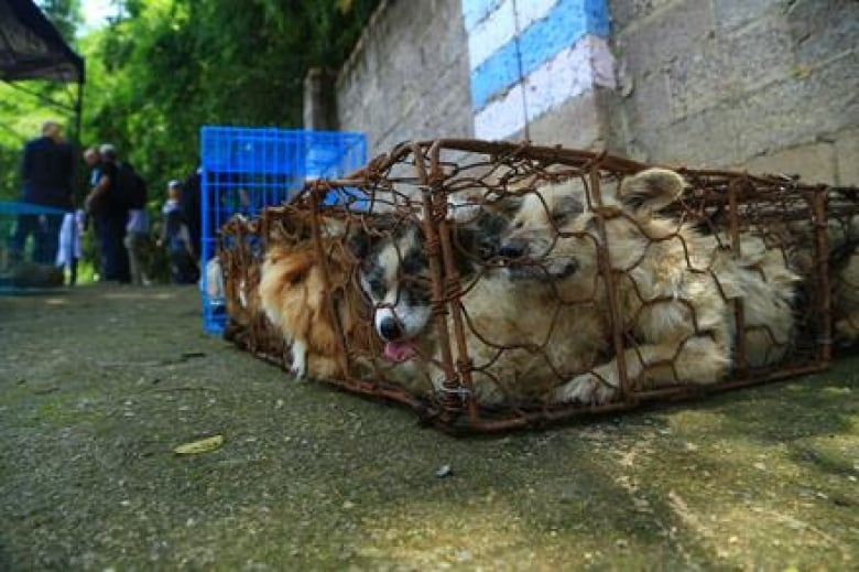 Dogs rescued from Chinese meat festival starting new life