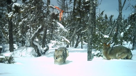 2 coyotes on trailcamera by Garry Gregory, eastern P.E.I.