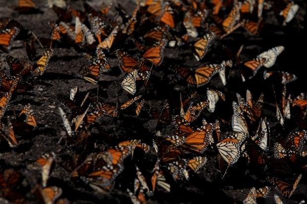 MEXICO-BUTTERFLIES/SANCTUARY